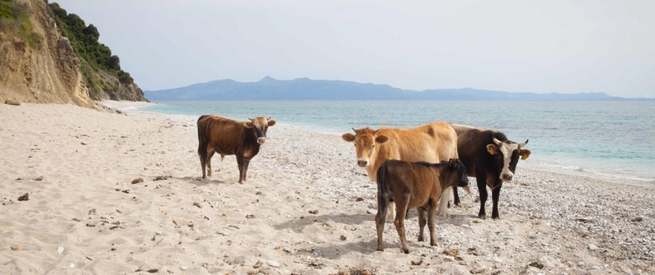 Kühe stehen an einem Strand südlich von Dhërmi in Albanien.