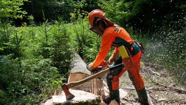 Staatsregierung investiert: Im Ebersberger Forst kämpfen Waldarbeiter gegen den Borkenkäfer. Die Fichte wird massiv von den Folgen der Erderwärmung bedroht