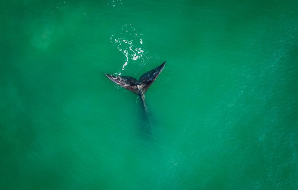 Gruß aus der Tiefe: Ein Südlicher Glattwal wird nach seinem weiten Weg aus der Antarktis am Ribanceira-Strand von Imbituba, Brasilien, gesichtet.