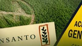 Genmais, Monsanto, dpa