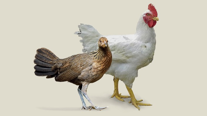 Kulturgeschichte: Das Huhn hat eine unter den Nutztieren einzigartige Karriere hingelegt.