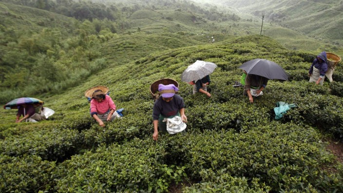 Labourers pluck tea leaves in a tea plantation at Shipaidura village