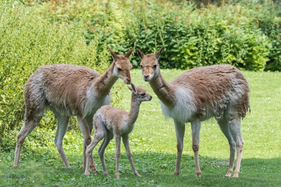 Im Tierpark Hellabrunn haben die Vikunjas Nachwuchs bekommen
