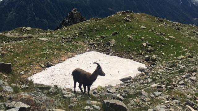 Weitwanderwege: Auf dem Weg um den Mont Blanc sieht man auch Steinböcke.