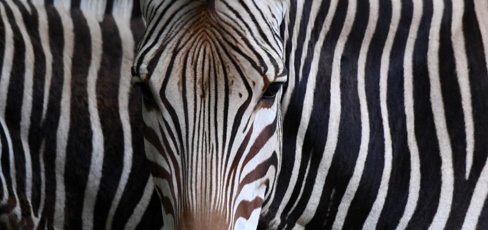 Schwarzweiß betrachtet: Zwei Zebras im Tierpark Hellabrunn in München.