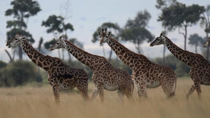 Giraffes are seen in Masai Mara National Reserve
