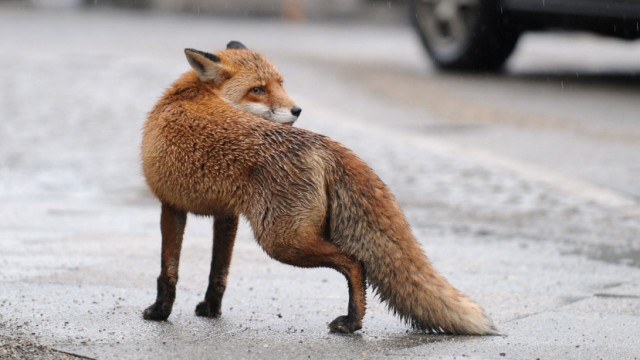 Ein Fuchs hat in Andechs zwei Kinder angegriffen
