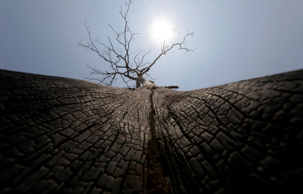 A partially burned tree is pictured at a burned tract of Amazon jungle after it was cleared by loggers and farmers near Porto Velho