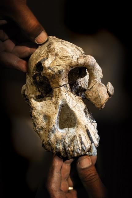 Menschheitsgeschichte: Schädel von Australopithecus anamensis