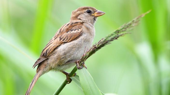 Haussperling - Forscher warnen vor Vogelsterben