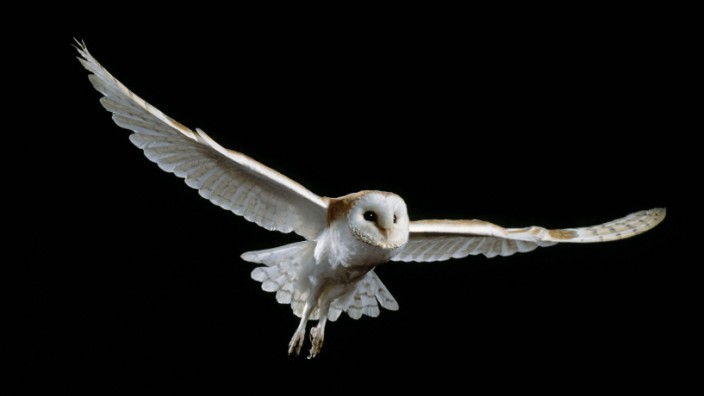 TYTO ALBA Barn owl Tyto alba in flight controlled conditions UK PUBLICATIONxINxGERxSUIxAUTxONLY