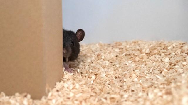 Verhaltensbiologie: Eine Ratte spielt Verstecken.