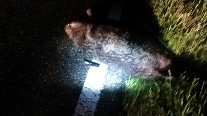 Ein Taxifahrer rammt bei Freising mit seinem Auto ein Tier. Angeblich soll er es für einen großen Hamster gehalten haben. Die Polizei sagt: Es war ein Wildschwein.