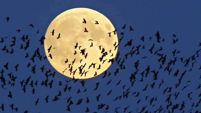 Vogelsterben: Das Insektizid Imidacloprid schadet Zugvögeln, indem es an ihren Kraftreserven zehrt.