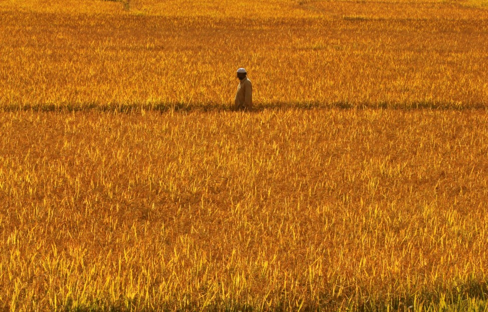 A Kashmiri man walks through a paddy field during restrictions in Srinagar