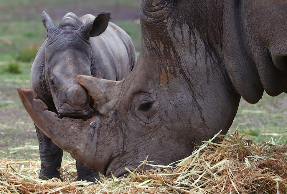 Taronga Western Plains Zoo Welcomes Baby White Rhino