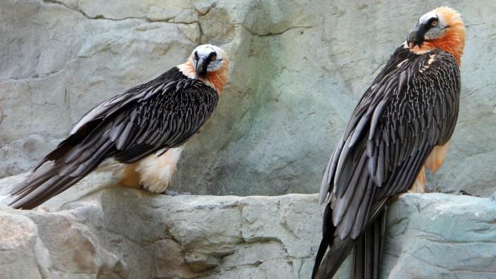 Bartgeier-Paar im Frankfurter Zoo