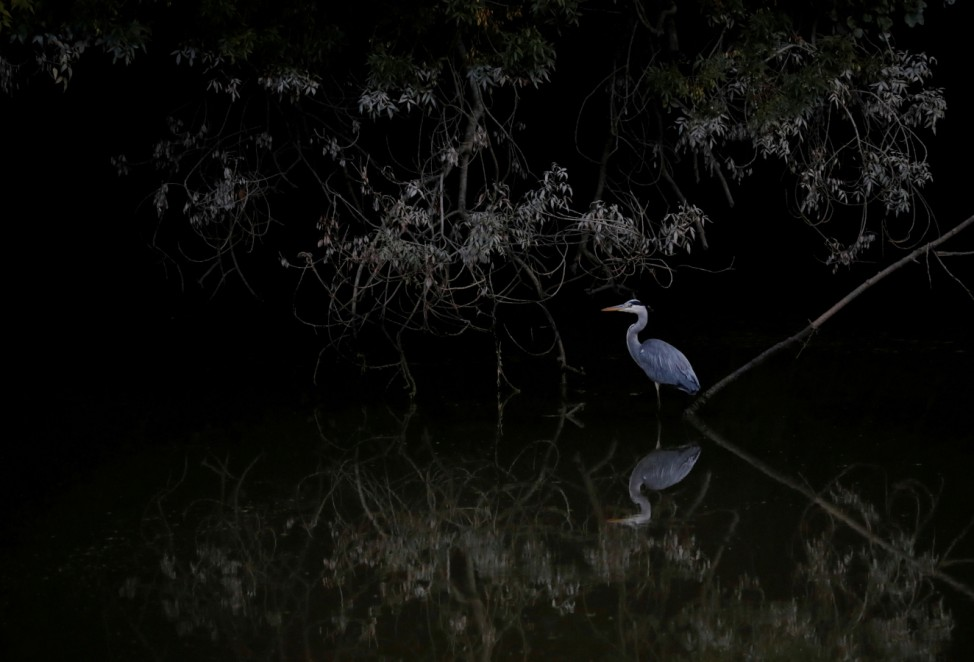 A heron is seen near the Sevres river in Vertou near Nantes