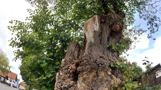 Andechs: Baumstumpf LINDE