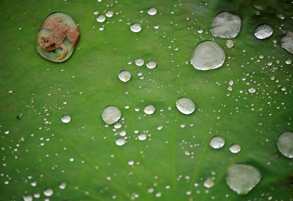 A frog is pictured on the leaf of a lotus after the rain at a pond in Lalitpur