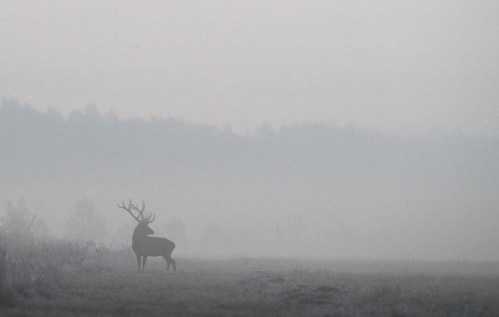 Male deer is seen in a field in Republican landscape reserve 'Nalibokski' near the village of Kozliki