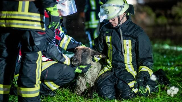 Regen flutet Weide mit 300 Schafen - Feuerwehr setzt Rettungsboot