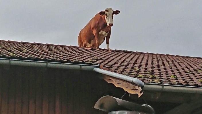 Kuh Irene auf dem Dach des Sperber-Hofes in Peiting.