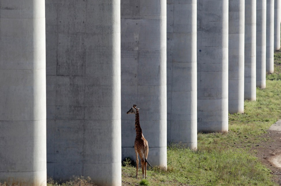 A giraffe walks near the elevated railway line that allows movement of animals below the Standard Gauge Railway line linking Nairobi and Naivasha inside the Nairobi national park in Nairobi
