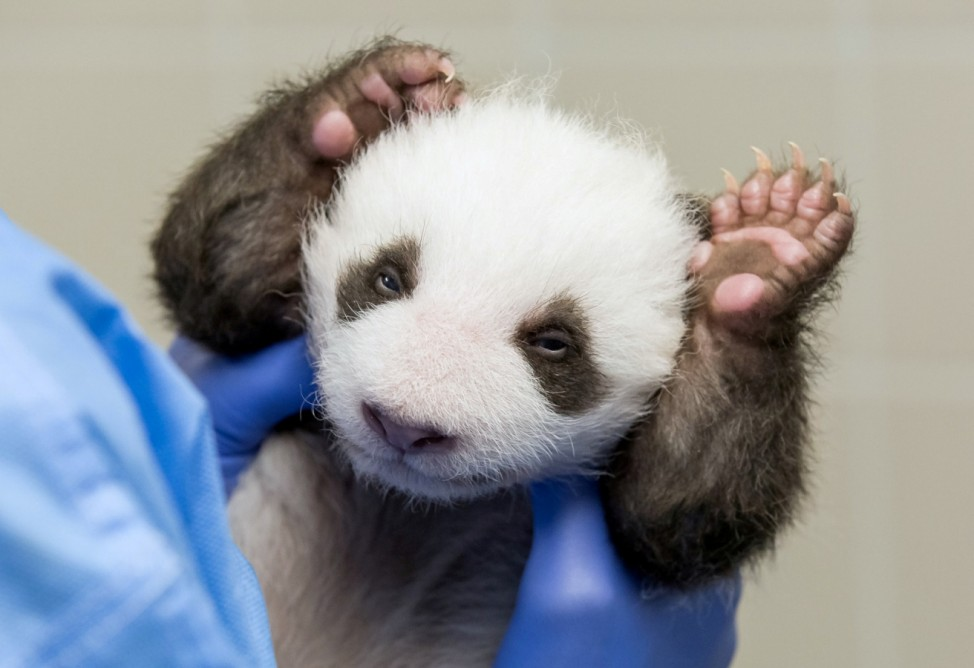 A handout photo shows one of the panda twins at Zoo Berlin
