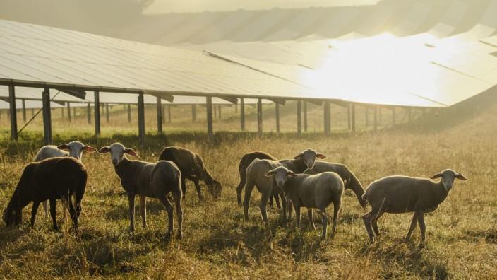 Interview mit Parag Khanna: Deutsche Schafe grasen zufrieden vor einer Solaranlage im gleißenden Morgenlicht.