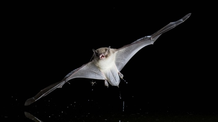 Wasserfledermaus Wasser Fledermaus Myotis daubentoni Myotis daubentonii jagt in der Nacht an de