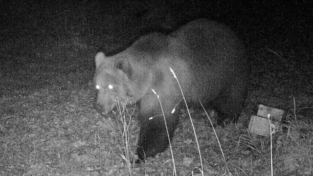 Wildtierkamera dokumentiert einen Bären in Bayern