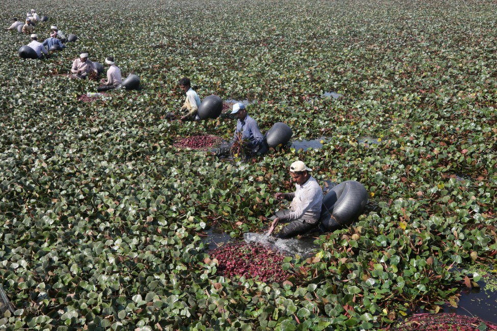 Workers float on rubber air tubes as they collect water chestnuts from a pond in Mote Majra village