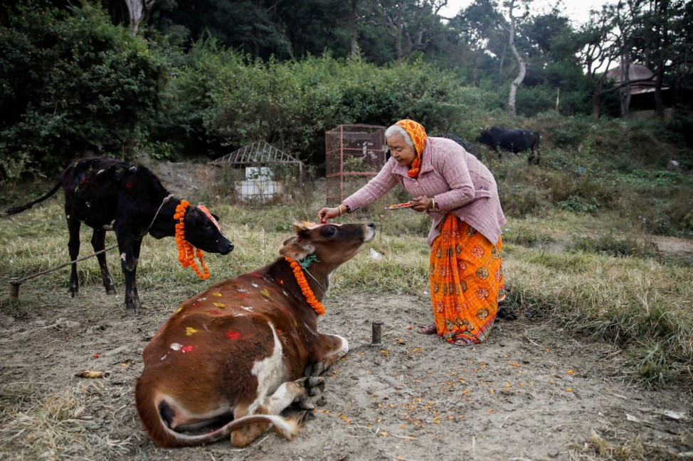 A woman offers prayers to a cow during a religious ceremony celebrating the Tihar festival, also known as Diwali, in Kathmandu