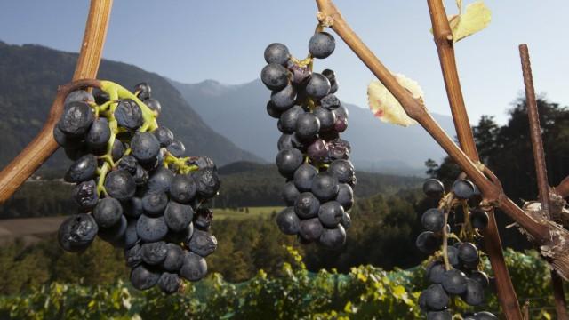 Weinberg Weinbau