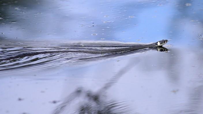 Schwimmende Ringelnatter