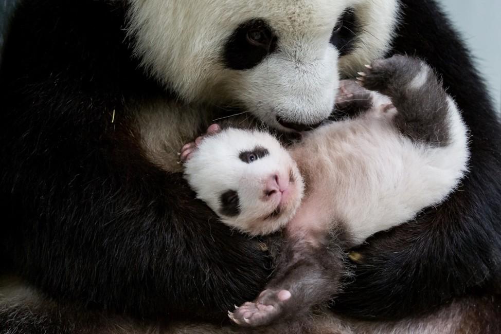 Berliner Panda-Zwillinge kuscheln zum ersten Mal miteinander