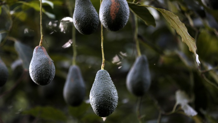 Operations During An Avocado Harvest At Stehly Farms Organics As Calfornia Gets Drought Relief