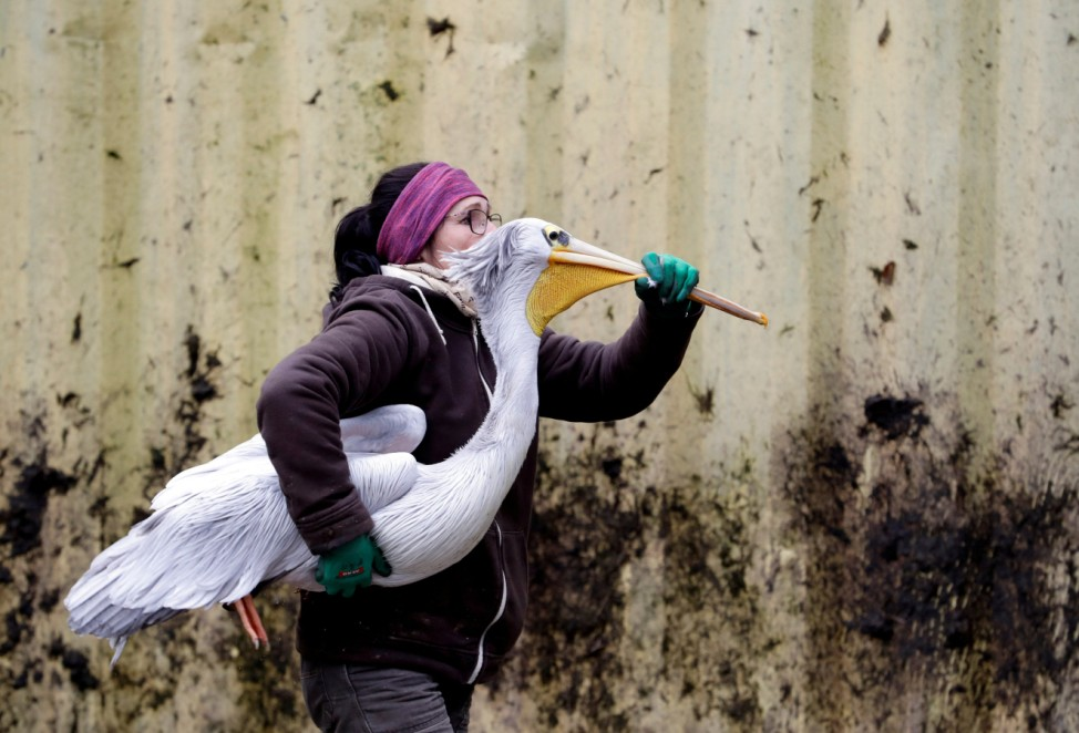 A zoo keeper carries a pelican to move it to its winter enclosure in Dvur Kralove nad Labem