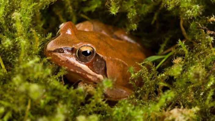 Frog sitting in ambush on green moss Its a spring frog Rana dalmatina PUBLICATIONxINxGERxSUIxA