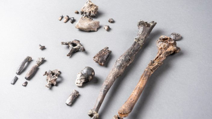 Twenty-one fossilized bones of the most complete partial skeleton of a male of the extinct ape species Danuvius guggenmosi