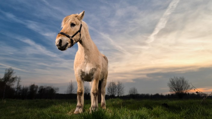 1 4 2017 Mahlow Deutschland GER Norwegisches Fjordpferd auf einer Weide Pferd Pferdeportrait