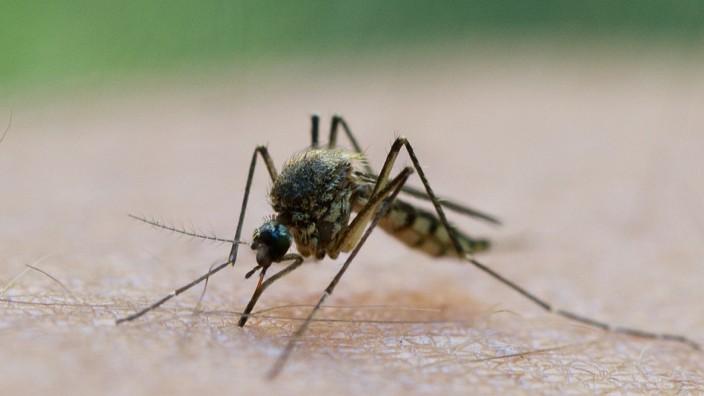 Mückenplage am Ammersee: Gemeinde Eching will Gift BTI einsetzen