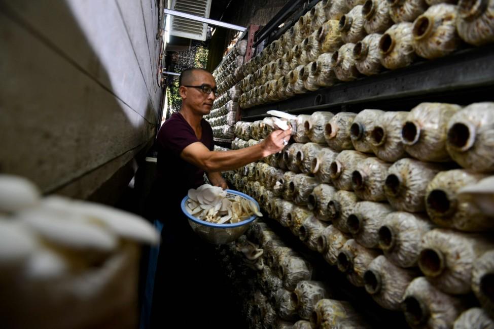 Flaschensammler: Ein Arbeiter erntet auf einer Pilzfarm in Banda Aceh Austernpilze.
