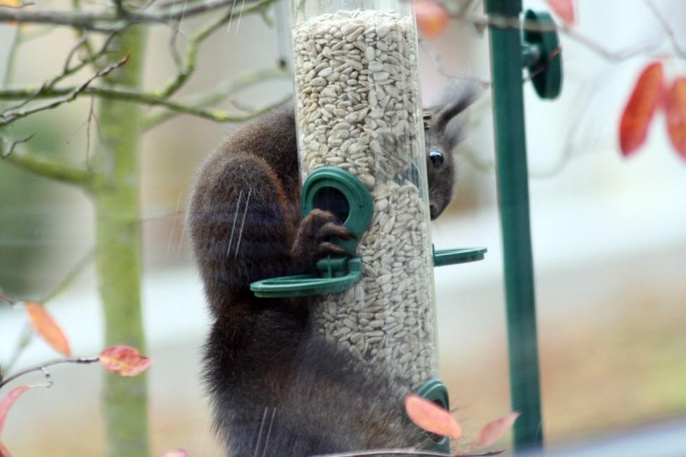 Futterstation mit futterndem Eichhörnchen - fotografiert durch ein Fenster der SZ-Redaktion.