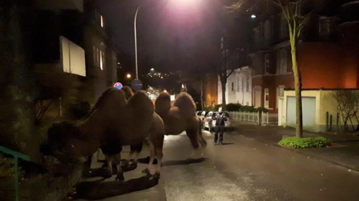 Kamele spazieren durch Remscheid