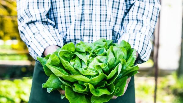 Farmer with lettuce PUBLICATIONxINxGERxSUIxAUTxONLY Copyright xnikkiphotox Panthermedia26169842