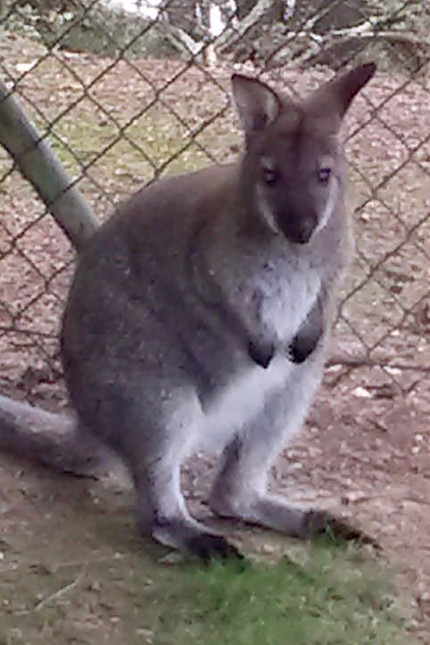 Polizei Cham sucht nach kleinem Känguru