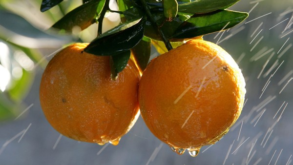 COLD SNAP ENDANGERS CALIFORNIA CITRUS CROP