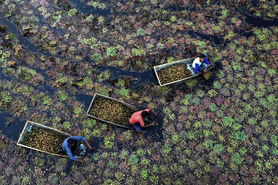 Dorfbewohner aus der Region Kanpur in Indien, sammeln Wasserkastanien in einem Teich. Die Arbeiter verdienen 250 Rupien ( 3,50 Dollar) pro Tag, nachdem sie zwischen 5-6 Stunden damit verbracht haben das Gemüse zu ernten.